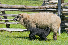 Mother and Baby Sheep Stock Image