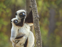 Mother and Baby Sifaka Lemur Stock Photo