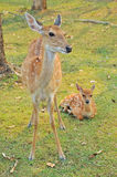 Sika deer family Stock Photo