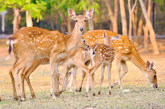 Sika deer family Stock Image