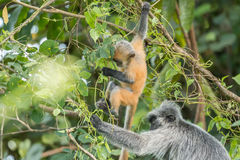 Mother and baby Silvery lutung (Trachypithecus cristatus) in Bako National Park, Borneo