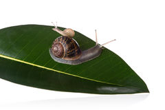 Mother and baby snails on a leaf Royalty Free Stock Photo
