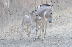 Mother and baby somali wild. A mother and baby somali wild nuzzle Royalty Free Stock Photography