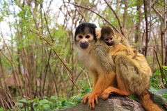 Mother and baby squirrel monkey. Cute little squirrel monkey of seven weeks old riding on the back of the mother monkey. The monkey's are free roaming between royalty free stock images