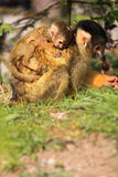 Mother and baby squirrel monkey royalty free stock images