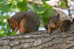 Mother & Baby Squirrel in a Tree. A mother and a baby squirrel on a cottonwood tree branch stock image