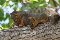 Mother & Baby Squirrel in a Tree. A mother and baby squirrel on a cottonwood tree branch stock photography