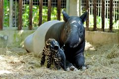 Mother and baby tapir. On sand yard in the zoo royalty free stock images