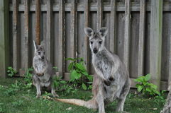 Mother and Baby Wallaby Royalty Free Stock Image