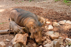 Mother and Baby Warthogs Royalty Free Stock Photography