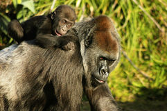 Mother and baby Western Lowland Gorillas Stock Images