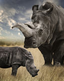 Mother And Baby White Rhino. Grazing royalty free stock images