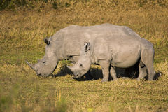 Mother and Baby White Rhino Royalty Free Stock Photo
