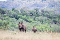 Mother and baby White rhino. Royalty Free Stock Photos