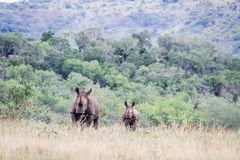 Mother and baby White rhino. Royalty Free Stock Photo