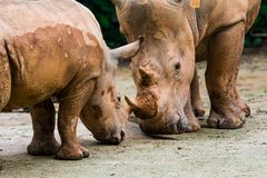 White Rhinos. Mother and baby white rhino practice jousting Stock Photos