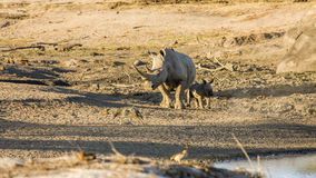 Mother and baby white rhinoceros in Kruger National Park. A mother and its baby white rhinoceros in Kruger National Park stock photography