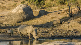 Mother and baby white rhinoceros in Kruger National Park. A mother and its baby white rhinoceros in Kruger National Park royalty free stock photos