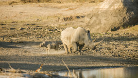 Mother and baby white rhinoceros in Kruger National Park. A mother and its baby white rhinoceros in Kruger National Park royalty free stock photography