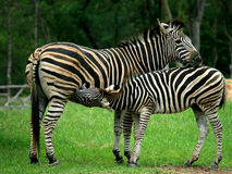 Mother and a baby Zebra. Standing in the forest stock photos