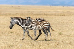 Mother and baby zebra Royalty Free Stock Images