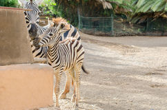 Mother and baby zebra. Mother and baby zebra fondle the nose, horizontal photo Stock Images