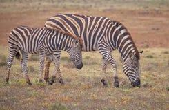 Mother and baby Zebra stock photo