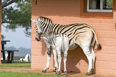 Mother and baby Zebra in front of house in Umfolozi Game Reserve, South Africa, established in 1897 Stock Image