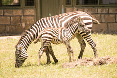 Mother and baby zebra side-by-side on grass Stock Image