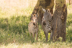 Mother and baby zebra side-by-side in shade Stock Photo