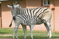 Mother and baby Zebra standing in front of house in Umfolozi Game Reserve, South Africa, established in 1897 Stock Photo