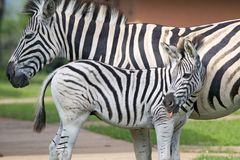 Mother and baby Zebra standing in front of house in Umfolozi Game Reserve, South Africa, established in 1897 Stock Image
