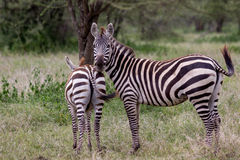 Mother and baby Zebra in Tanzania. A mother Zebra stands lookout over her baby in the Serengeti Stock Photography