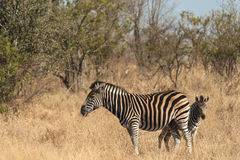 Mother and baby zebra Stock Photo