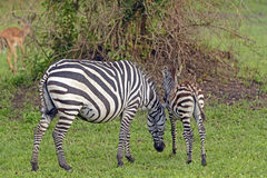 Mother and Baby Zebra in the Wilds Royalty Free Stock Images