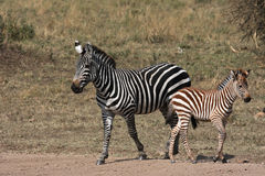 Mother and baby Zebras. Mother zebra and its baby in Serengeti National Park royalty free stock photography