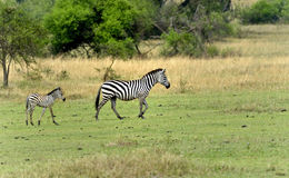 Mother and baby zebras Stock Photography