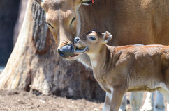 Mother banteng cleans baby Stock Photography