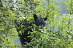 Mother Bear Royalty Free Stock Photography