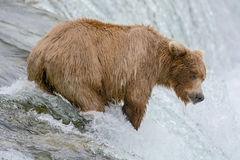 Mother Bear catching Salmon at the top of a waterfall Stock Images
