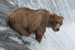 Mother Bear catching Salmon at the top of a waterfall Royalty Free Stock Photo