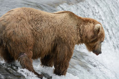 Mother Bear catching Salmon at the top of a waterfall Stock Photography