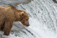 Mother Bear catching Salmon at the top of a waterfall Royalty Free Stock Image