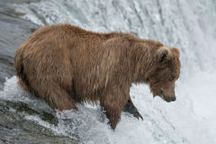 Mother Bear catching Salmon at the top of a waterfall Stock Photo