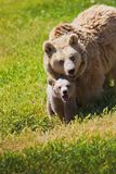 Mother bear and cub Stock Photos
