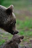 Mother bear with cub Royalty Free Stock Image