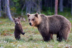 Mother bear and cub Royalty Free Stock Images