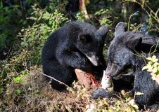 Mother Bear & Cub. Eating salmon in Alaska Royalty Free Stock Photo