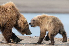 Mother and bear cub interact on the beach Royalty Free Stock Photos