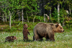 Mother bear and cubs. Mother bear and her two cubs in a Finnish forest Royalty Free Stock Image